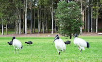 Ibis australiana