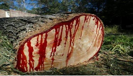 اشجار يخرج منها دم وتدعى بدم التنين سبحان الله ؟؟