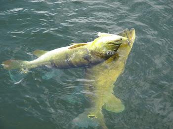 2 peixes na mesma isca !!!