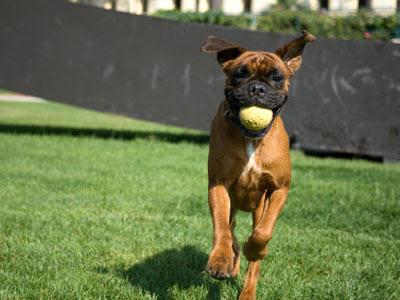 boxer-dog-training-youtube