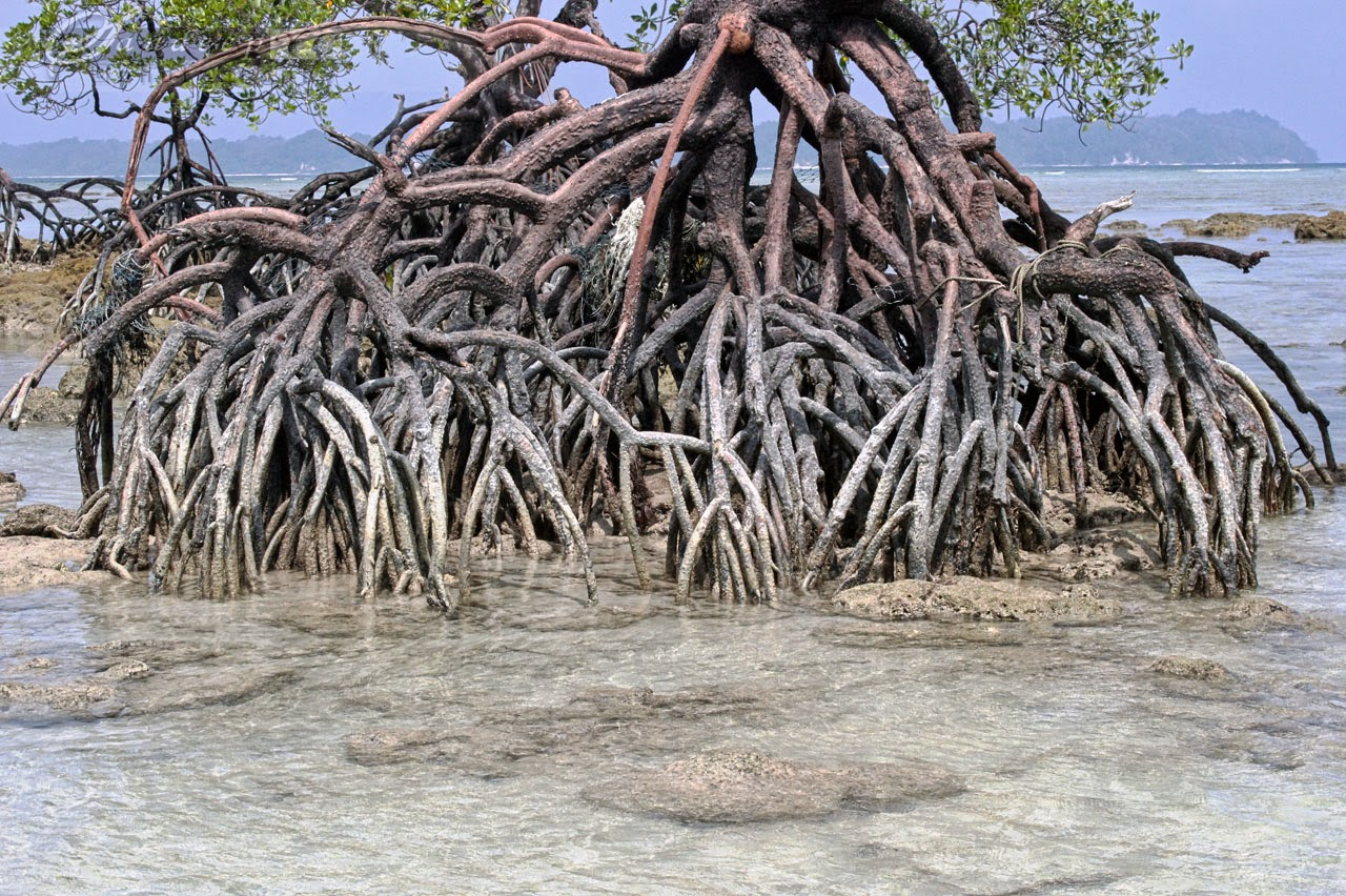 The Mangrove Roots