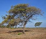 pohon bidara