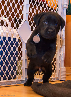 A black lab puppy is facing the camera on his back legs, in mid-jump. His front paws are in the air. Behind him is a white x-pen section which keeps him safe in our laminate-floored kitchen. A grey mat is on the floor in front of him.