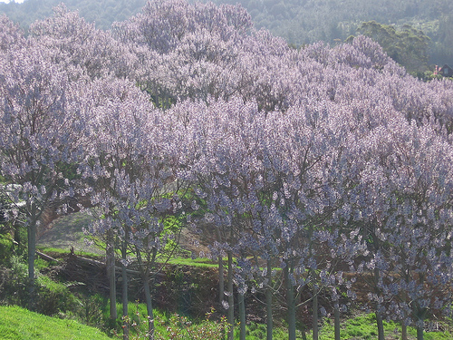 how to get rid of paulownia trees