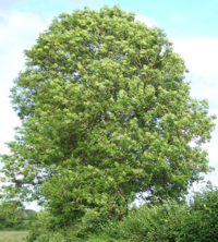 Nuin the Ash tree