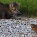 Chipmunk attacks cat to avoid becoming dinner (Video)