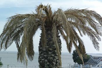 Royan: palmiers gelés, palmiers crâmés
