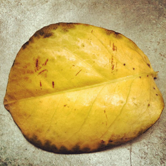 leaf,nature,Santiago, Chile, iPhoneography Selection January 7 2013,pablolarah,Pablo Lara H Blog