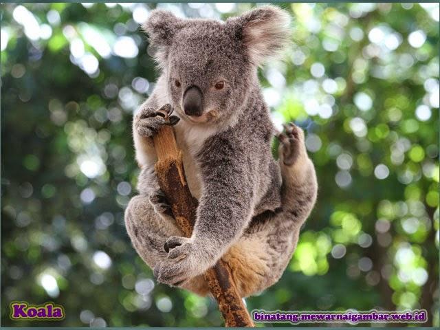 Gambar Koala Imut