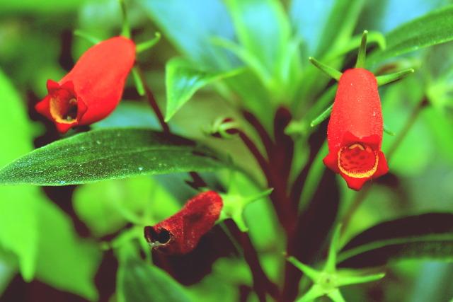 Red Flower, Polomolok