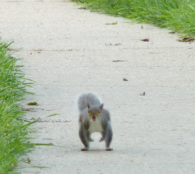 squirrel running down sidewalk