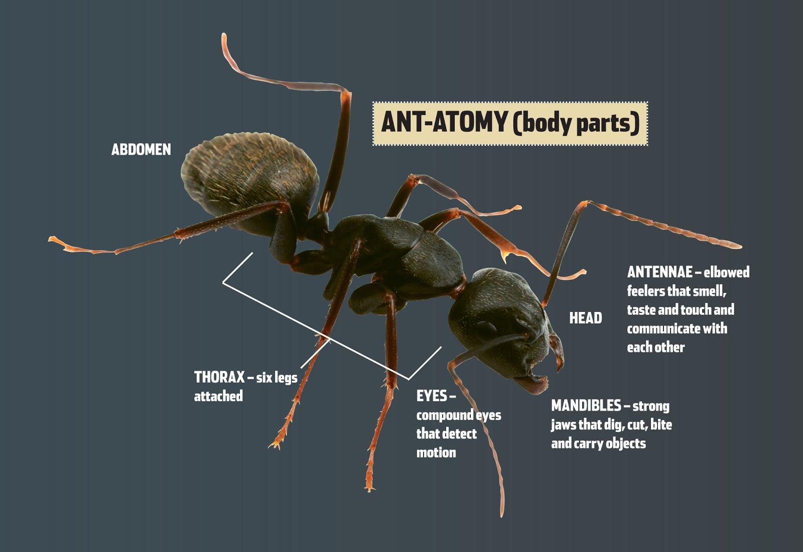 kraliçe karınca ile ilgili görsel sonucu