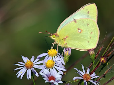 Clouded Sulphur