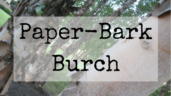 Paper-Bark Burch