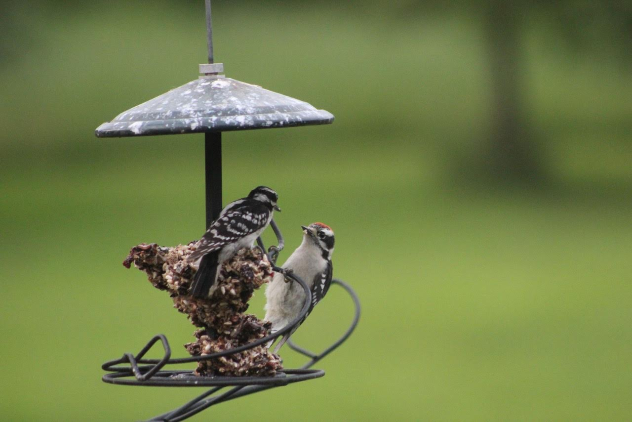 wild birds unlimited photo share baby woodpeckers