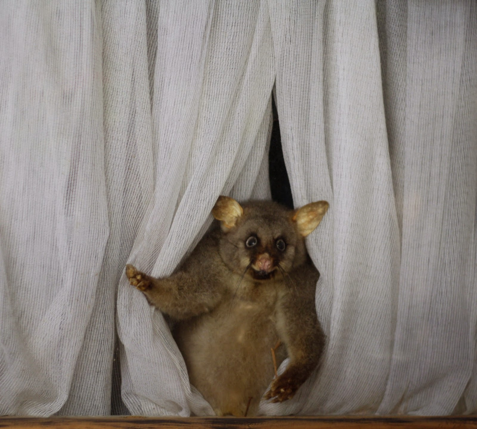 A taxidermy possum peeks out from behind a net curtain.