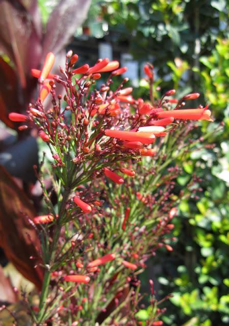 Firecracker fern