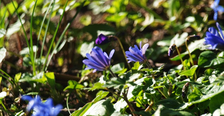 Balkananemoner, skilla, violer og hyacinter er tone-i-tone i haven