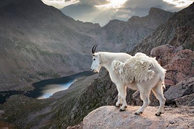 Cabra de las montañas mirando hacia el lago