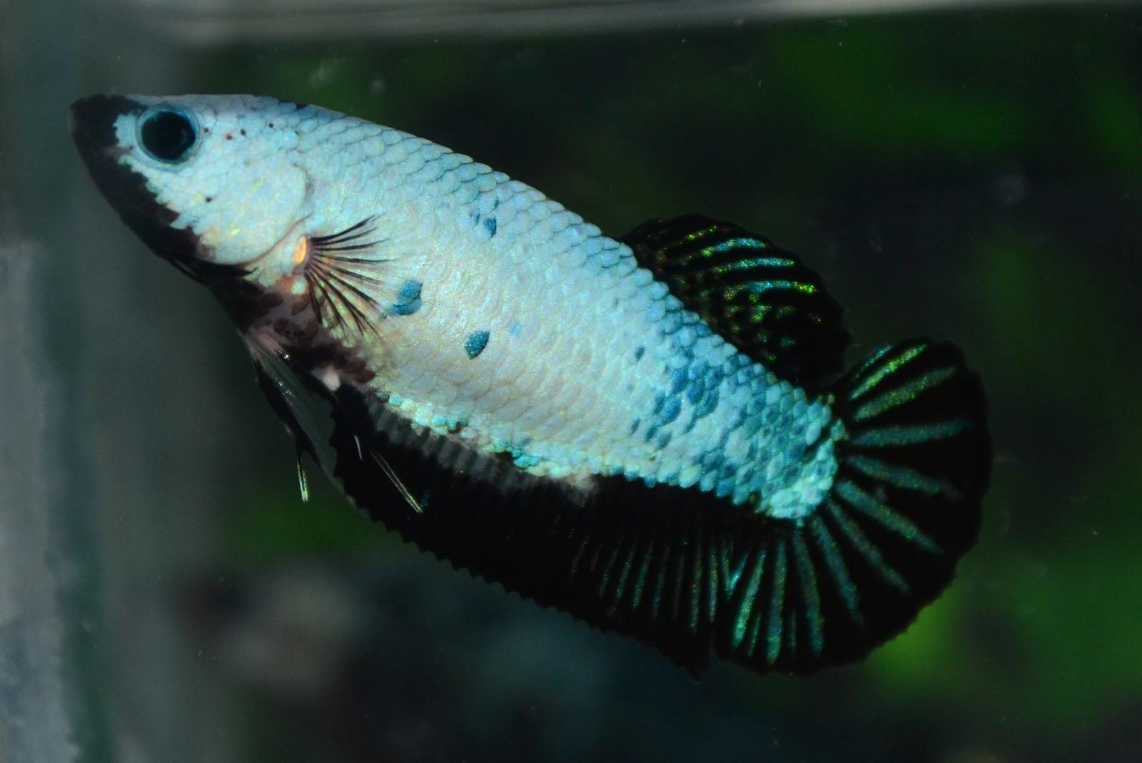 Betta fish afira betta hmpk fancy female oct 2012 for Pictures of betta fish