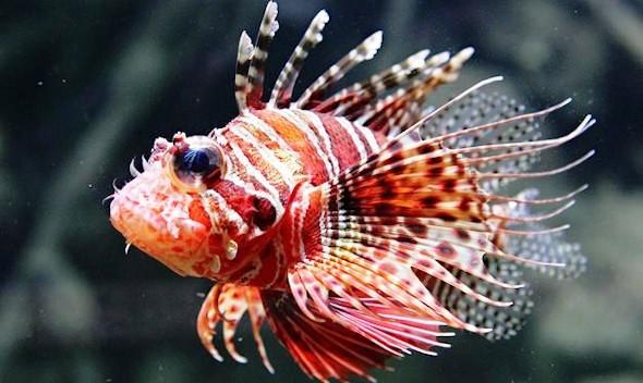 Curiosidades del mundo el asombroso pez le n pterois for Imagenes de peces chinos