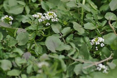 tanaman air selada
