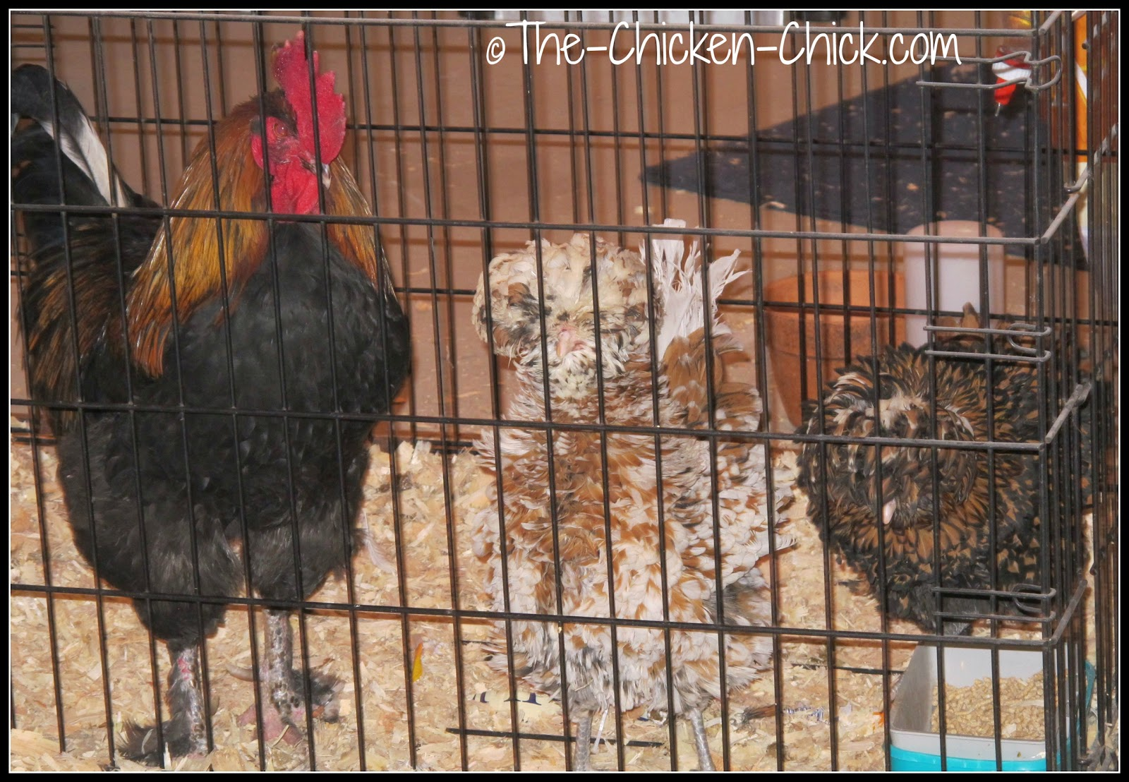 Blaze (Black Copper Marans rooster) has been in the infirmary while his frostbitten comb healed. Calista Flockheart & Ally McBeak (Tolbunt Polish Frizzle hens) shared the dog kennel with Blaze for a couple of weeks due to cabin-fever induced feather picking of their heads by flock members.