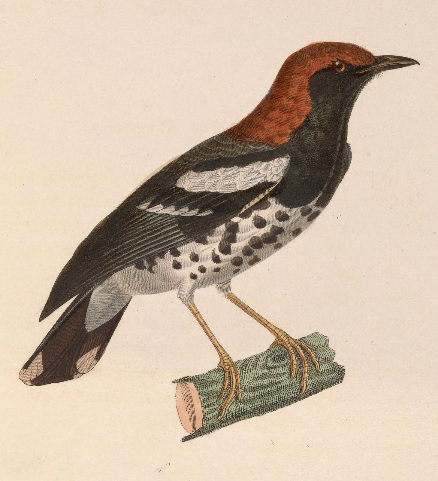 Foto Burung Anis Kembang Jantan