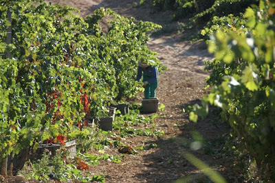 Vendimia en Ribera del Duero en las tierras de Bodegas Comenge. Blog Esteban Capdevila