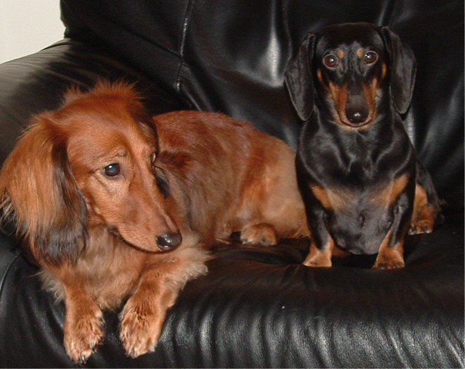Chocolate Sausage Dog Puppies For Sale