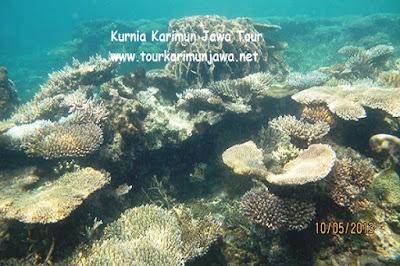 terumbu karang di menjangan kecil karimunjawa