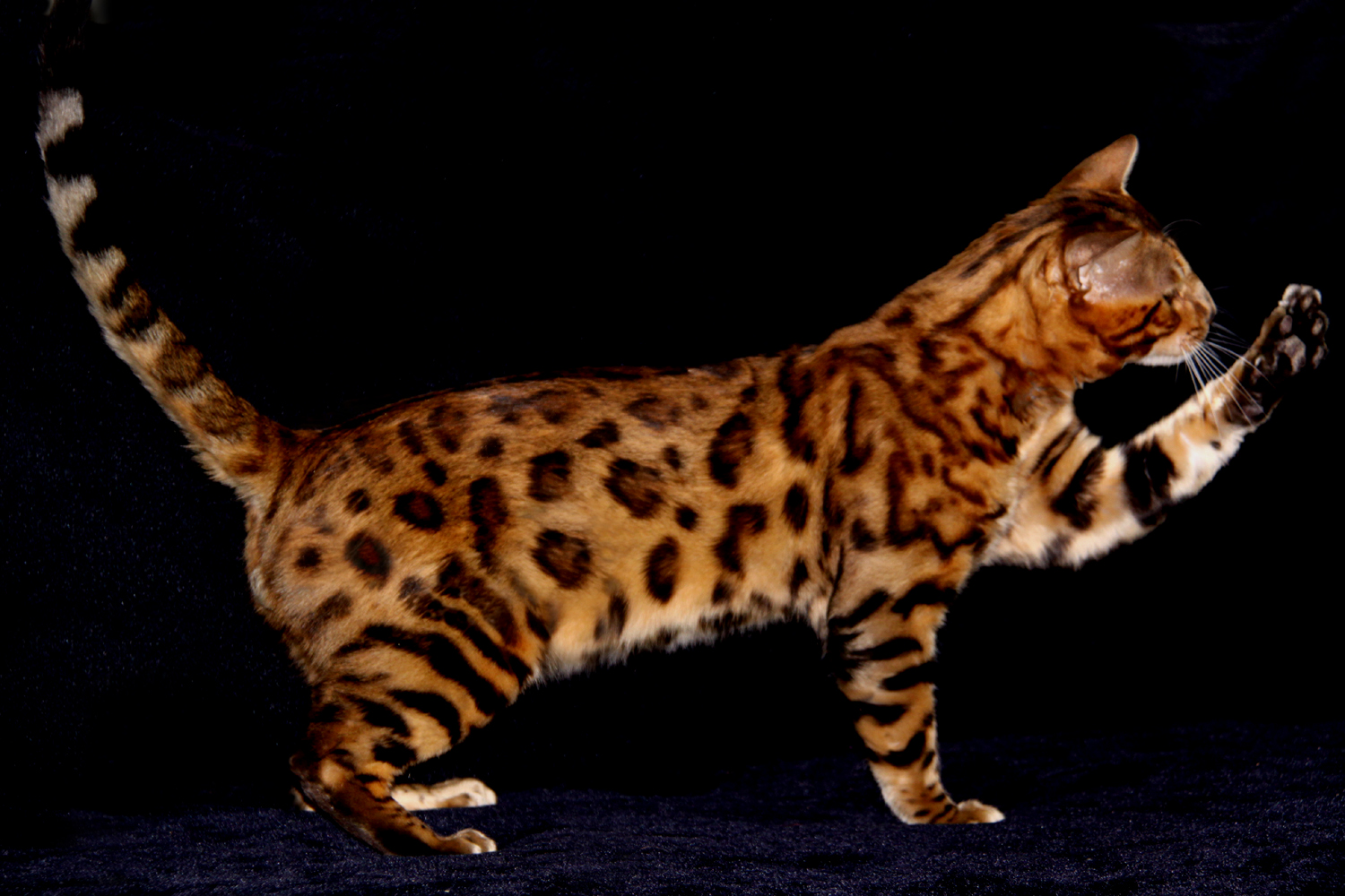 Bengal Cats - Pets Cute and Docile