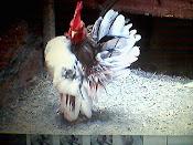 Artikel Ayam Serama