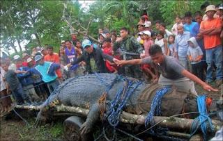 World Largest Crocodile Caught In Philippines, Biggest Alligator