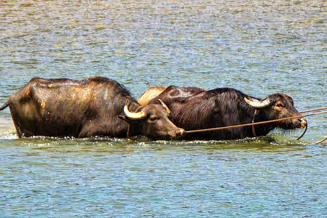 water buffalo, water, tethered