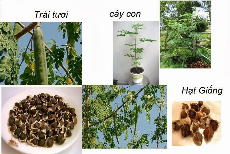Cây Chùm Ngây trồng với quy mô công nghiệp