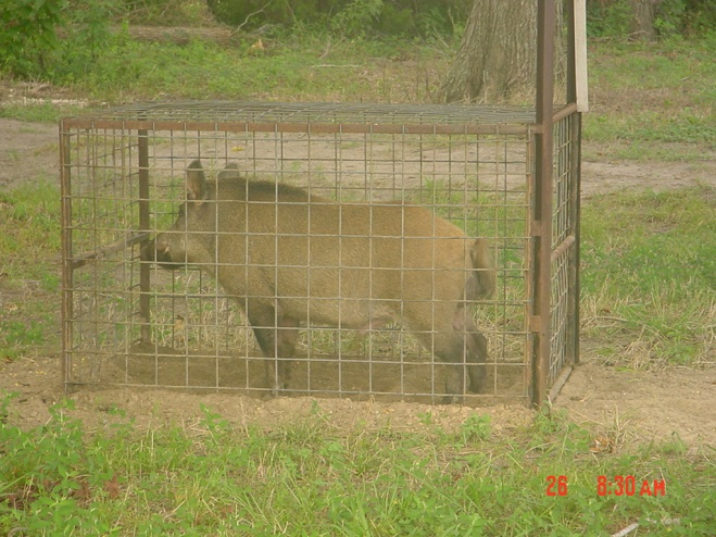 urban feral hogs concern challenges and control wild wonderings