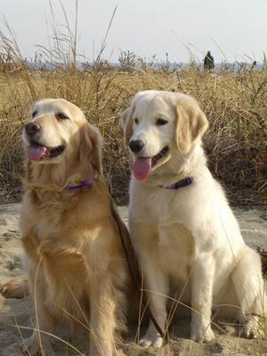 cute golden retriever puppy wallpapers. wallpaper Golden mix all