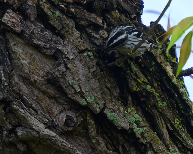 Black and White Warblers can frequently be seen walking down the trunk like a nuthatch.