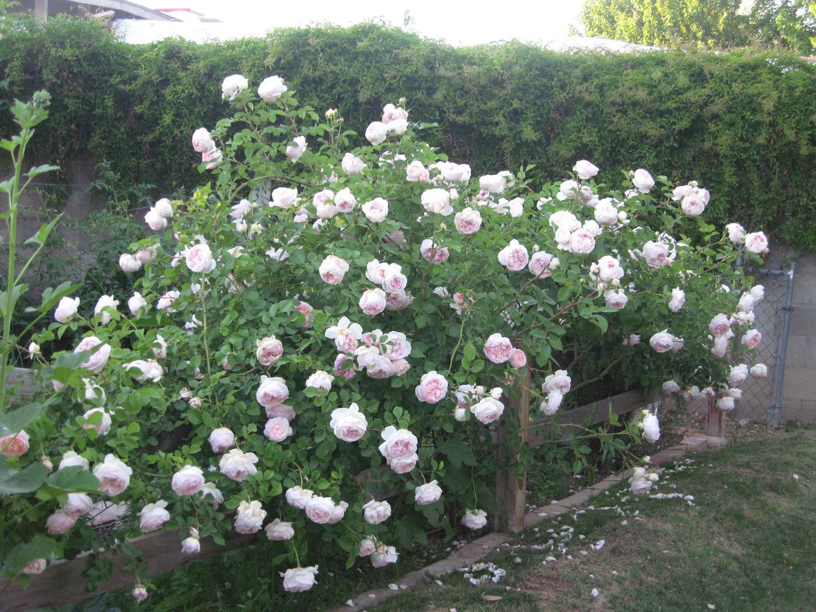 rose art images