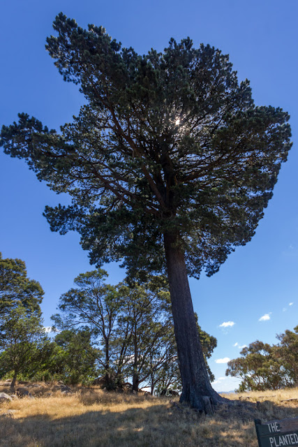 pine tree called lollipop tree