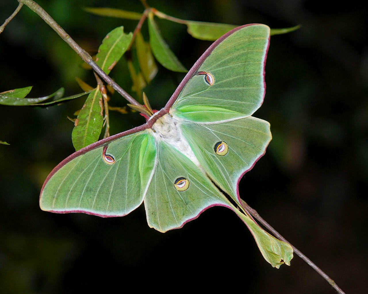 Luna moth scientific illustration - photo#2