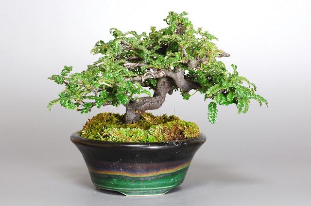 イソザンショウL(磯山椒盆栽)Osteomeles subrotunda bonsai