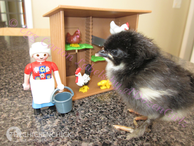 Baby chicks grow at an astonishing rate, an important consideration to bear in mind when planning a brooder set-up.