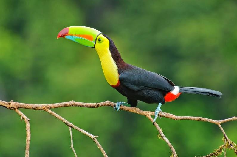 Costa Rica Tucan