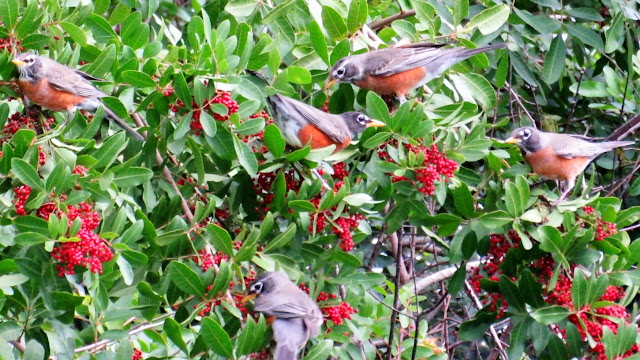 American Robins Winter Migration