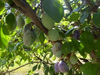 Δαμασκηνιά: σπορά φύτεμα καλλιέργεια