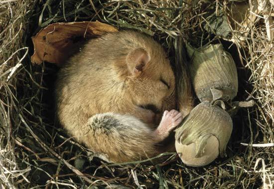 tikus hutan estivasi