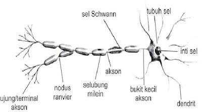 Pengertian dan Macam-macam Sel Saraf Berdasarkan Struktur dan Fungsinya