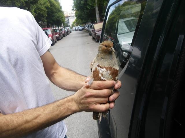 Πεδινή πέρδικα βρέθηκε στην επαρχιακή οδό Θεσσαλονίκης – Νεοχωρούδας κτυπημένη από αυτοκίνητο.